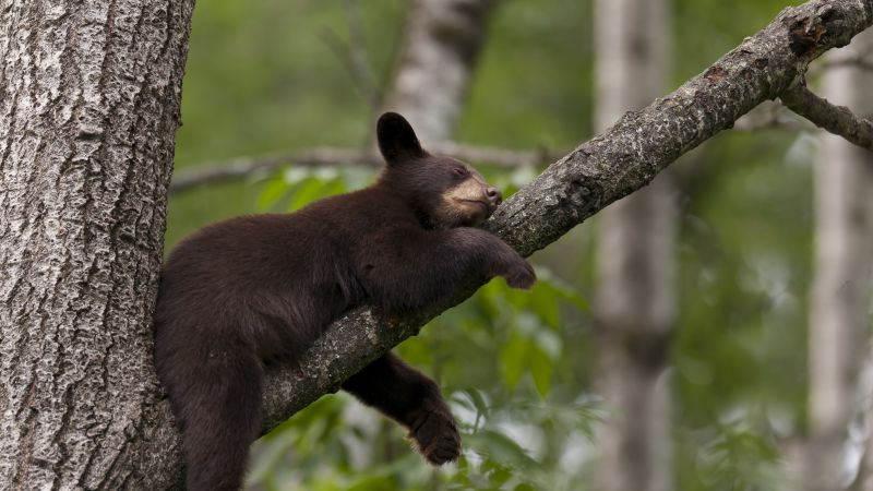 Brown bear, bear, tree, cute animals, funny (horizontal)