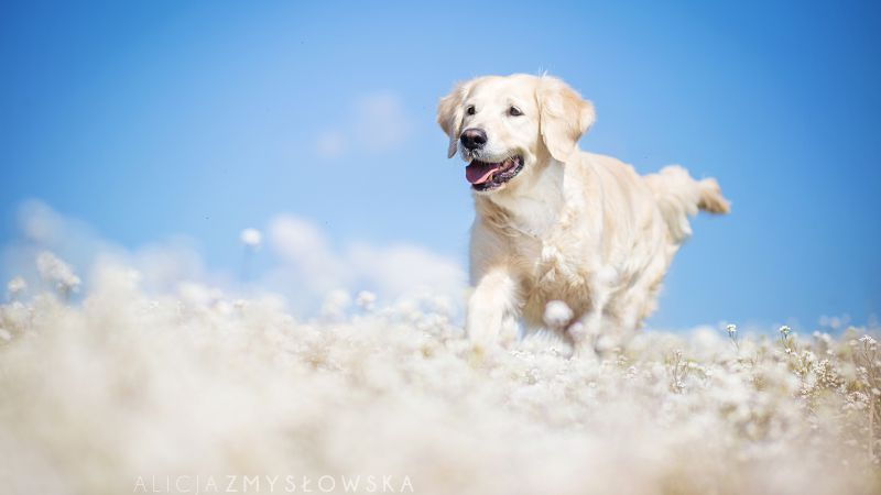 Labrador, dog, field, cute animals, funny (horizontal)