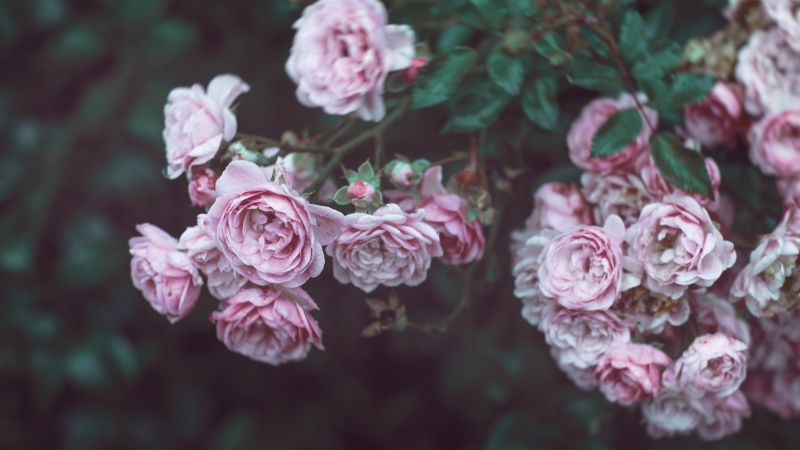 Roses, 4k, HD wallpaper, 8k, flowers, pink (horizontal)