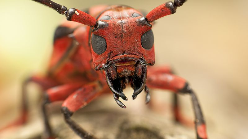 Wallpaper Messor Structor Ant Macro Animals 5106