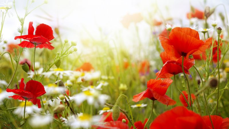Field, 4k, HD wallpaper, Chamomile, Poppy, flowers (horizontal)