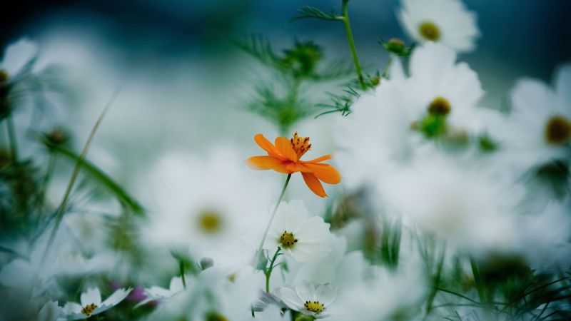 Flowers, 4k, HD wallpaper, 8k, daisies, cosmos flower, white, orange (horizontal)