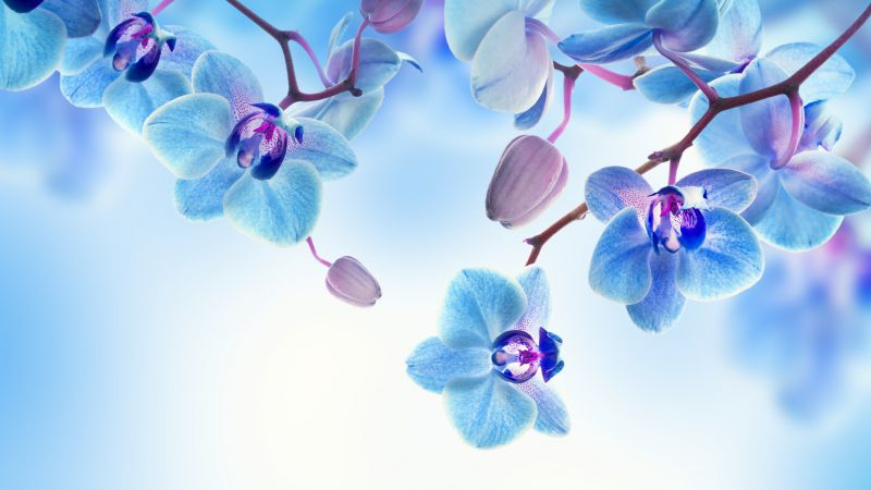 Orchid, 5k, 4k wallpaper, flowers, blue, white (horizontal)