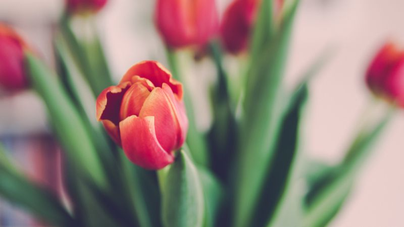Tulips, 5k, 4k wallpaper, flowers (horizontal)