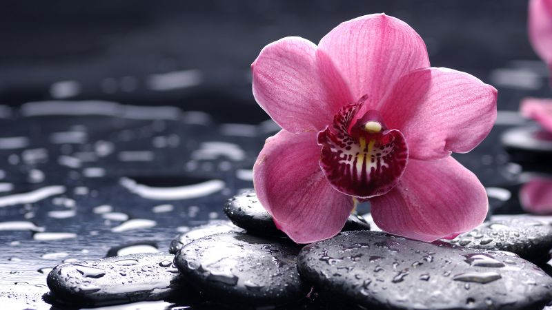 Orchid, 5k, 4k wallpaper, 8k, HD, flowers, drops, pink (horizontal)