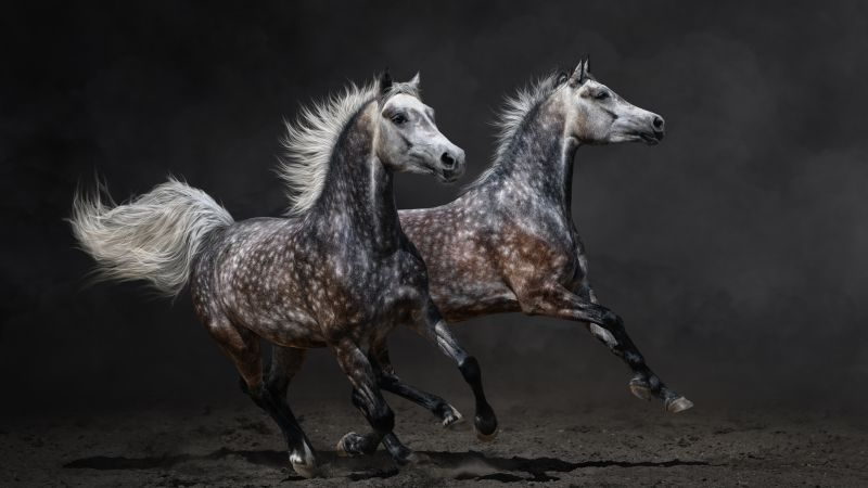 Horses, brown, gallop (horizontal)