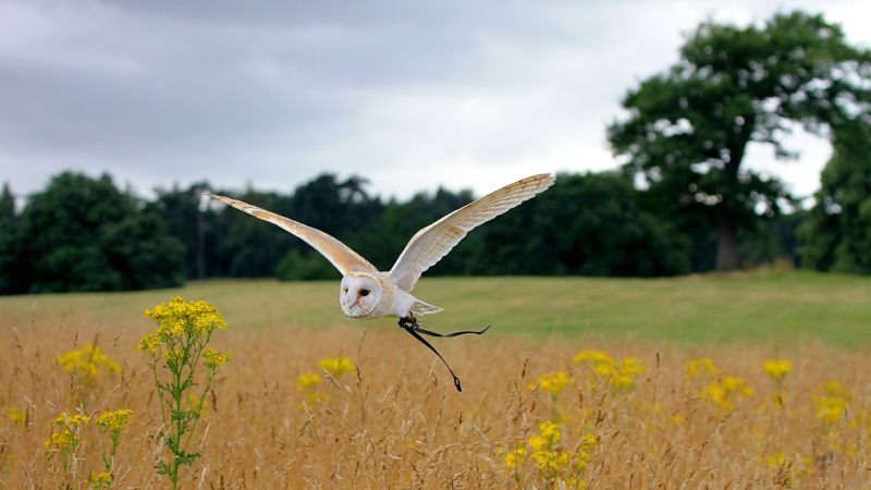 Owl, flight, meadows, cute animals (horizontal)