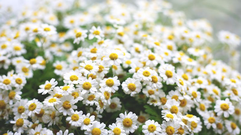 Daisies, 5k, 4k wallpaper, flowers, spring (horizontal)