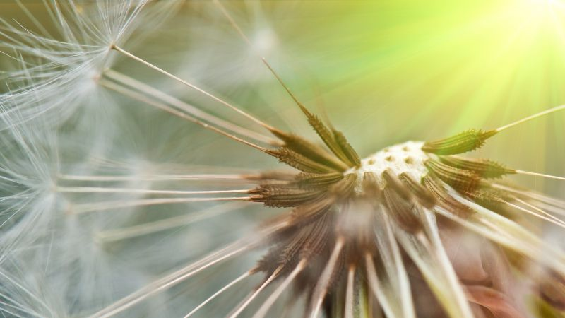 Dandelion, 5k, 4k wallpaper, flowers, macro (horizontal)