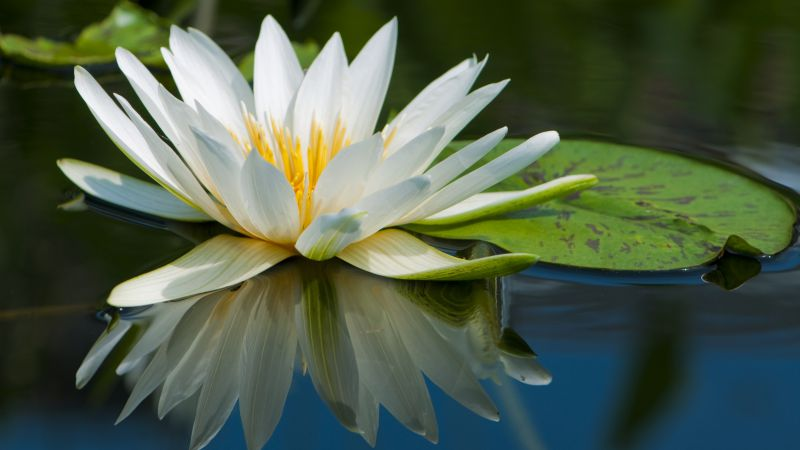 Lotus, 5k, 4k wallpaper, flowers, lake, river (horizontal)