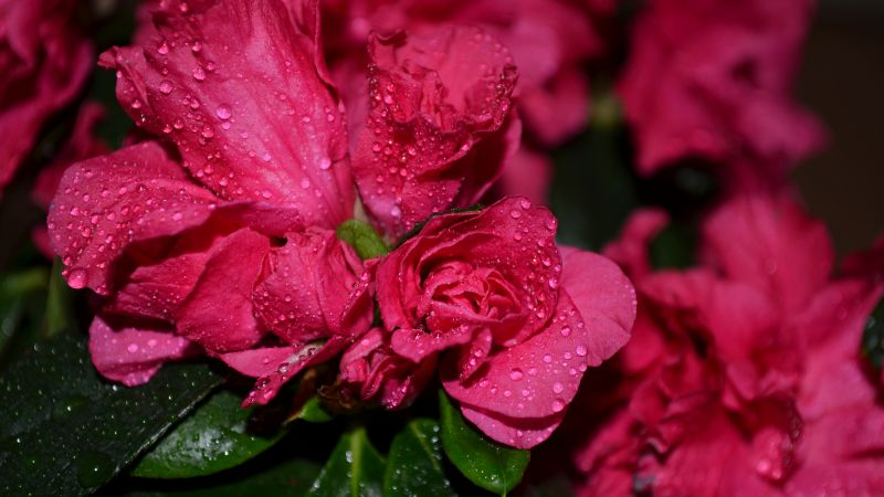 Roses, 5k, 4k wallpaper, flowers, drops, red (horizontal)