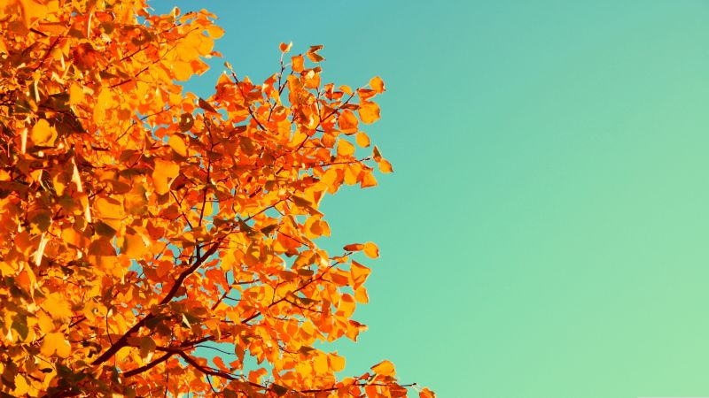 Tree, 5k, 4k wallpaper, sky, autumn, yellow, leaves (horizontal)