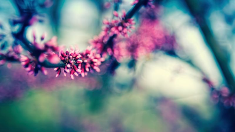Branch, 4k, HD wallpaper, blossom, spring (horizontal)
