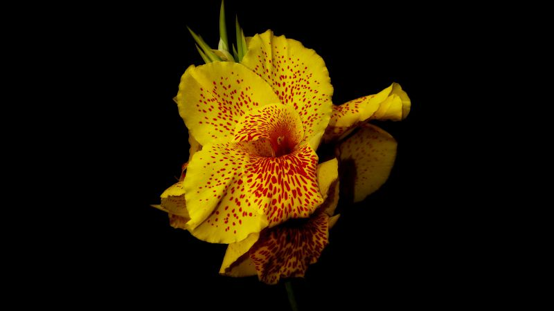Canna, 5k, 4k wallpaper, flowers, yellow (horizontal)