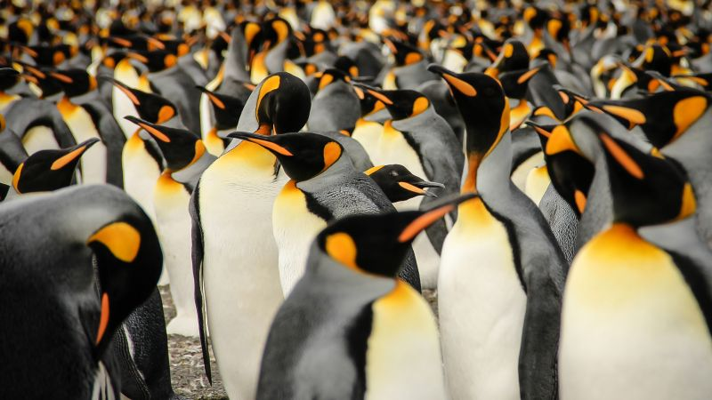 King penguins, South Georgia, birds, 2015 Sony World Photography Awards (horizontal)
