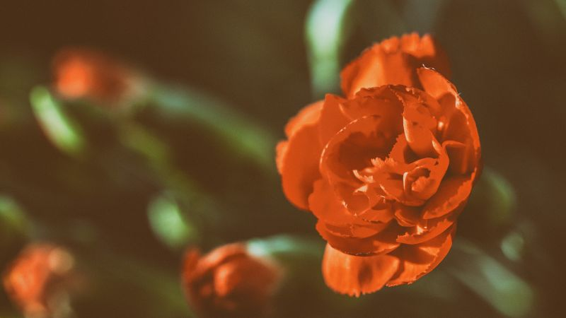 Rose, 5k, 4k wallpaper, red, flowers (horizontal)