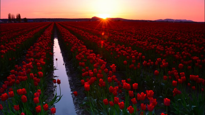 Skagit Valley, 4k, 5k wallpaper, 8k, Washington, USA, Tulip Fields, Sunset, travel, tourism, flowers (horizontal)