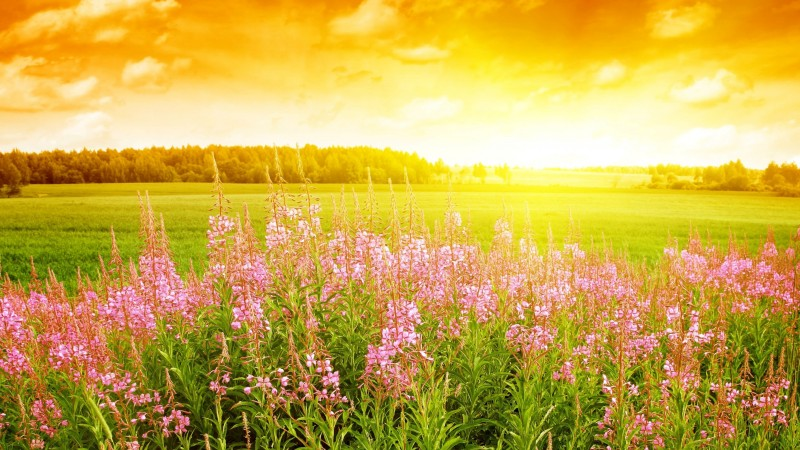 sky, 4k, HD wallpaper, sunset, field, flowers (horizontal)