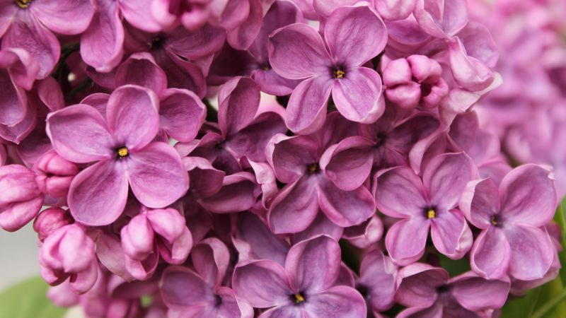 Lilac, 4k, 5k wallpaper, flowers, purple, macro (horizontal)