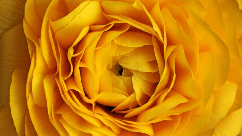Rose, 4k, 5k wallpaper, flowers, yellow, macro (horizontal)