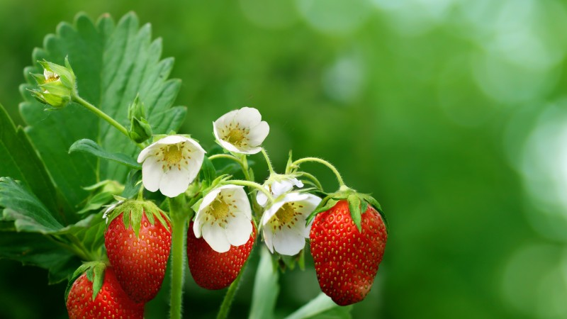 strawberries, greens, flowers, bokeh,  (horizontal)