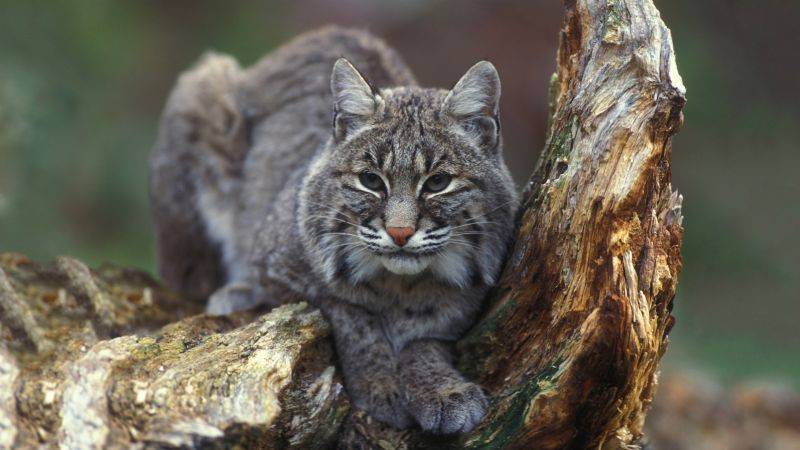 Bobcat, New York, USA (horizontal)