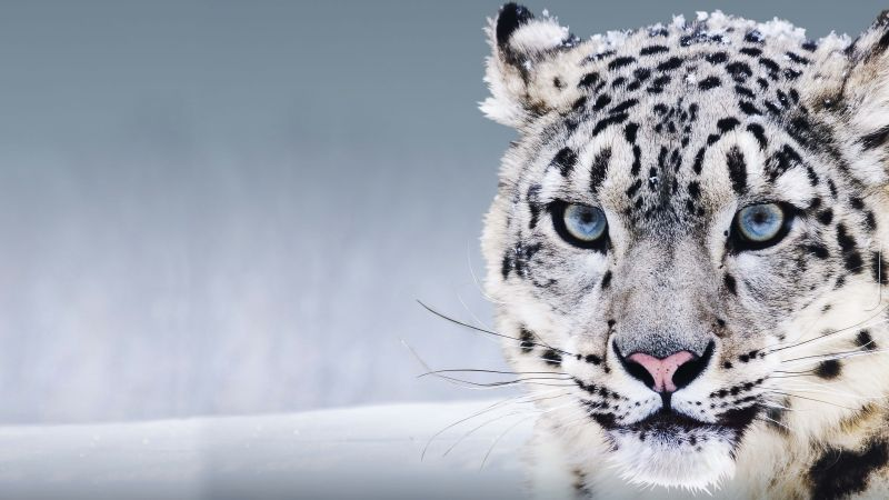 Snow Leopard, China, blue eyes, snow (horizontal)