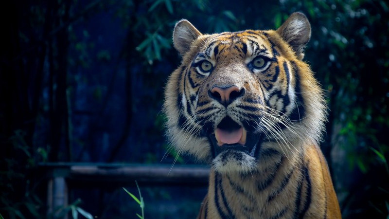 Tiger, 4k, HD wallpaper, Sumatran, amazing eyes, fur, look (horizontal)