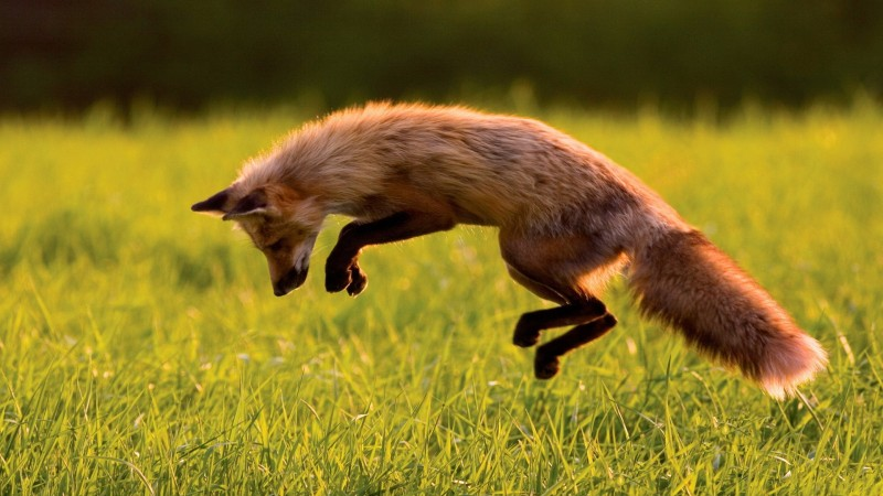Red Fox, green grass, jumping, sunny day, wild nature (horizontal)