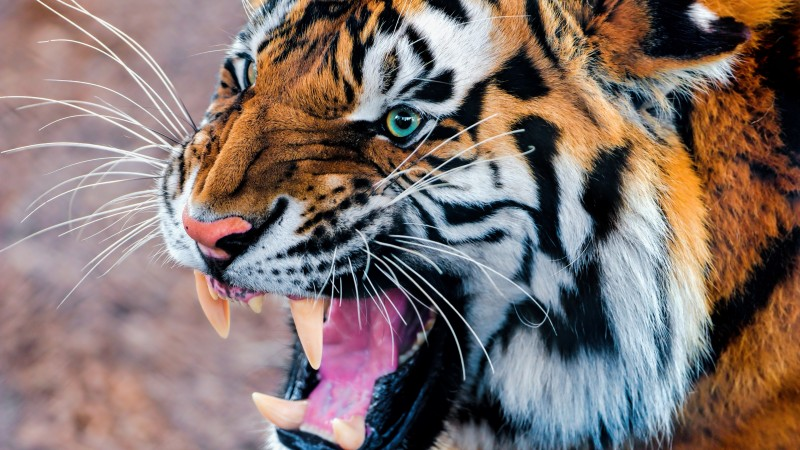 Tiger, snarling, eyes, fur (horizontal)