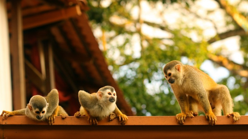 Monkeys, Atelidae, Costa Rica (horizontal)