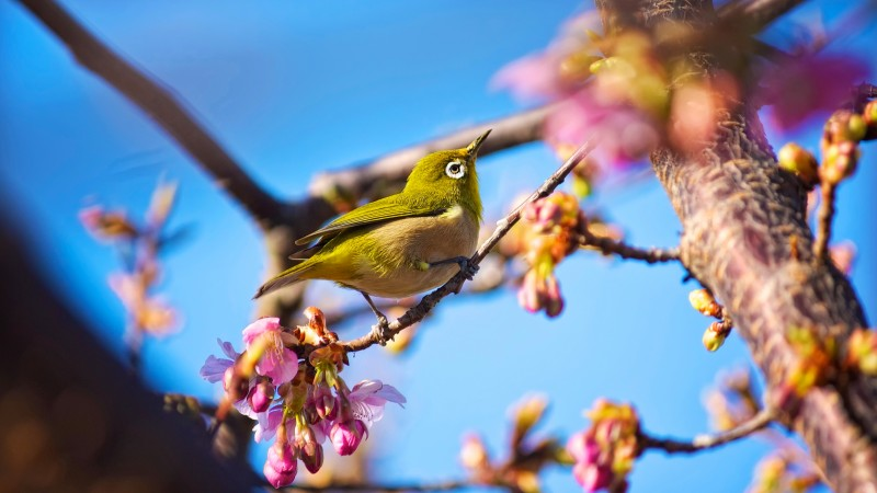 Japanese bird, White Eye, nature, flowers, spring, blue sky, sakura (horizontal)