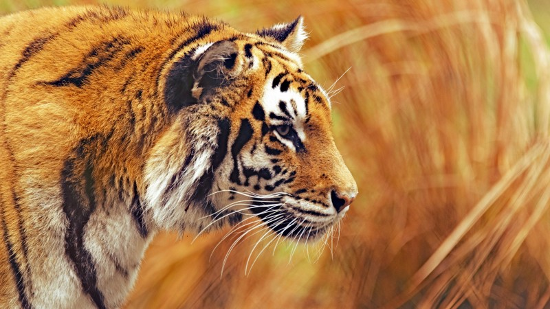 Bengal Tiger, 5k, 4k wallpaper, Grass, yellow, hunting (horizontal)