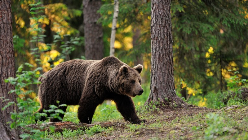 brown bear, bear, tread, step, walk, forest, trees, foliage, blur (horizontal)
