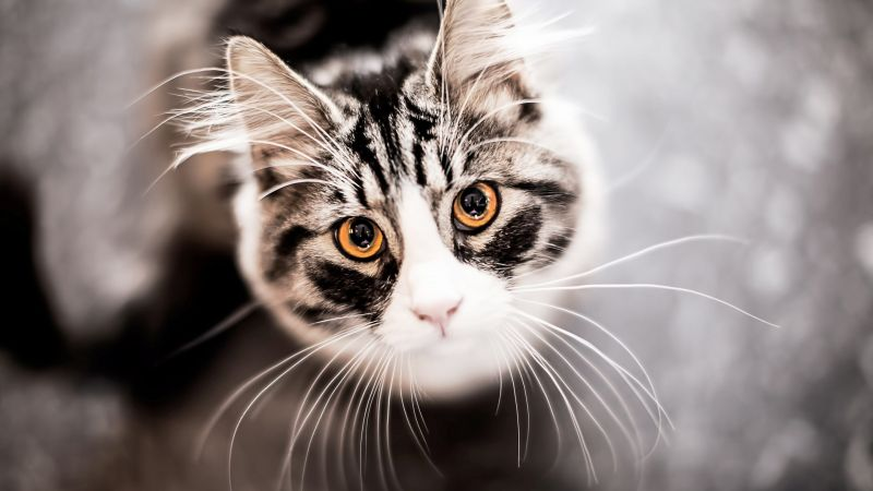 Kitty Kitten Cat Eyes Cute Gray Horizontal