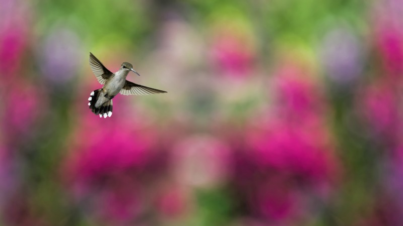Bird, Hummingbird, humming-bird, colorful, blur (horizontal)