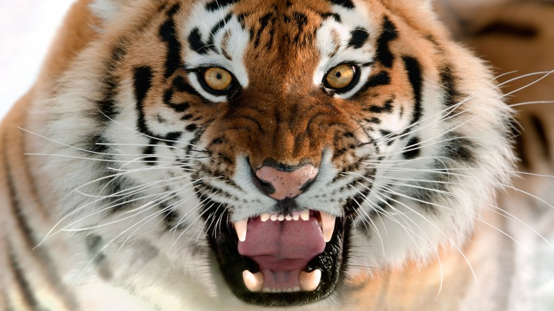 Tiger, Muzzle, Grin, Amur Tiger, portrait (horizontal)