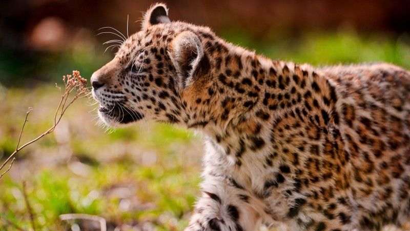 Leopard, cub, eyes, grass, walk (horizontal)