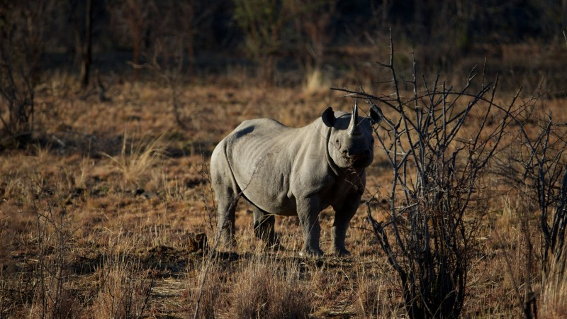 rhino, savanna, heat, brown background, nature (horizontal)