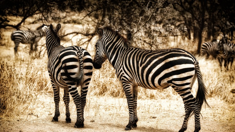 Zebra, serengeti, savanna, wild nature (horizontal)