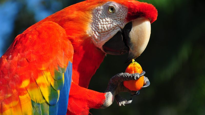 Macaw parrot, tropical bird