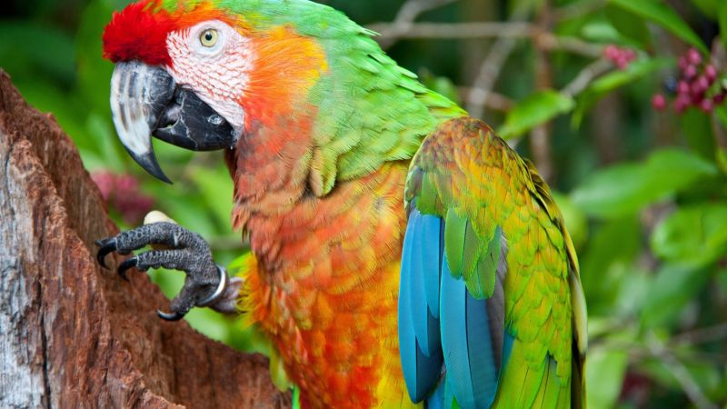 parrot, blue, red, green, orange