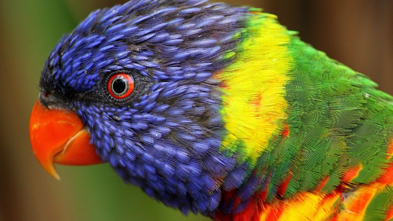 rainbow parrot, beautiful, colorful animals, exotic birds (horizontal)