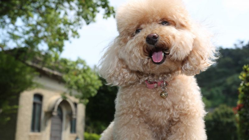 Toy Poodle, dog, puppy, funny pets (horizontal)