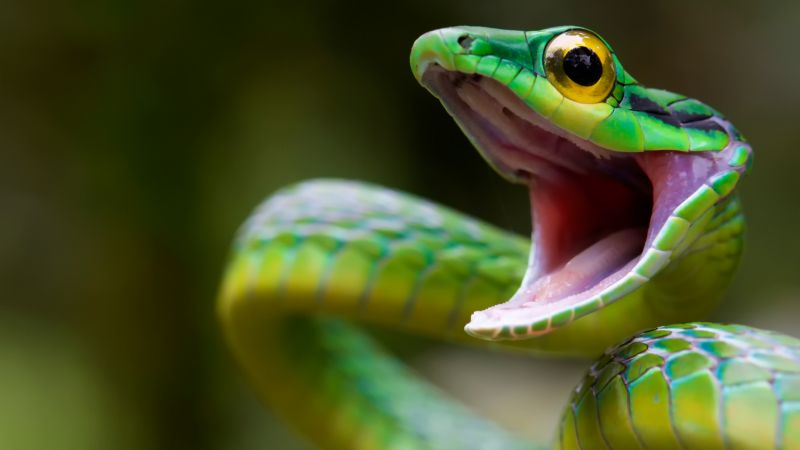 Satiny Parrot Snake, Snake, green, danger, eyes