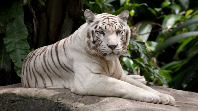 white tiger, nature, wild, animals