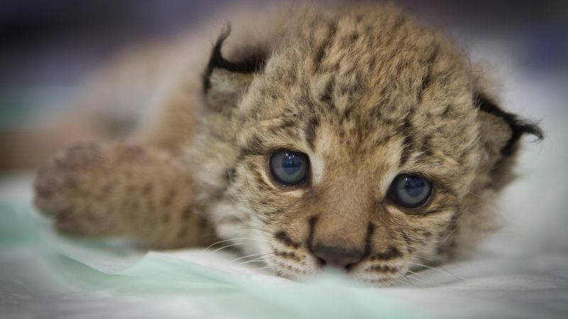 lynx, World's dangerous animals, little one