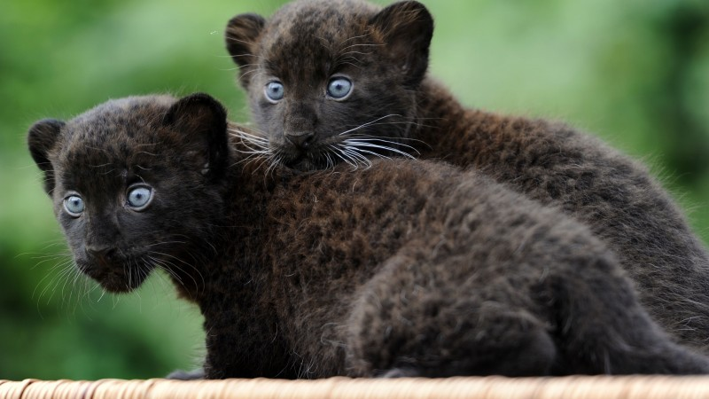 Panther, Cub, Cats, Kittens, black cat, fur, blue eyes, nature