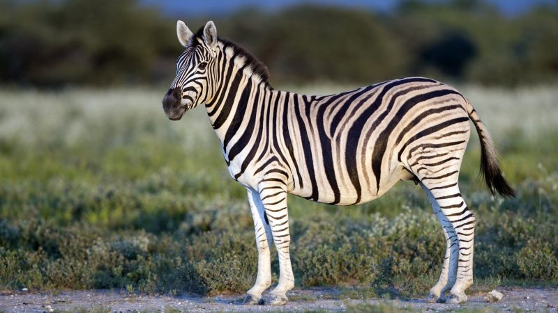 Zebra, Black & White, eye, strips