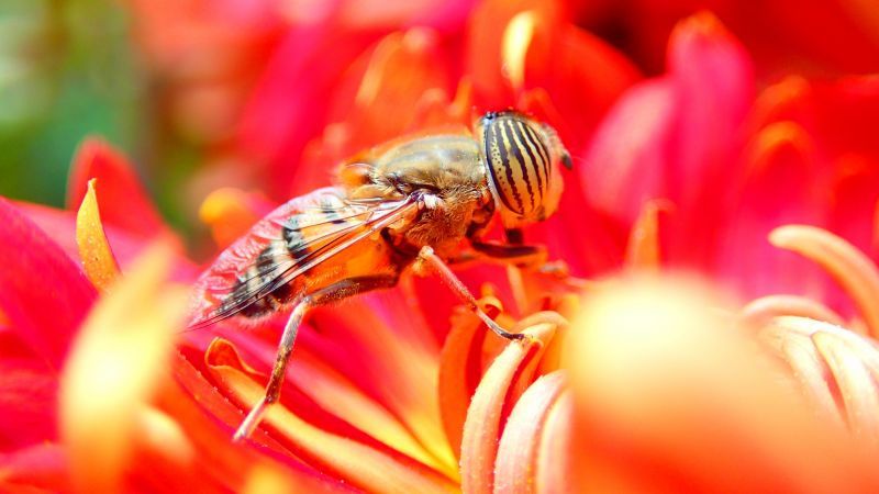 bee, flower, red, insects (horizontal)